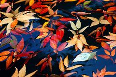 Fall Colors | Autumn leaves floating in a fountain | bossa07 | Flickr