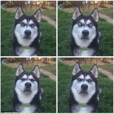 飼い主がボールを投げるふりをしただけだとわかったシベリアンハスキーの顔wwwwwwwwwwwwwwww