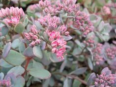 Sedum cauticola-- just got one of these bbs can't wait for the bloom!