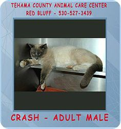 Red Bluff, CA - Siamese. Meet CRASH a Cat for Adoption.