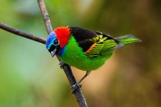 All sizes | Saíra militar - Red necked tanager - Tangara cyanocephala | Flickr - Photo Sharing!