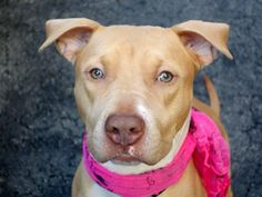 MOCCASIN - A1033952 - Manhattan - Publicly Adoptable TO BE DESTROYED – 05/08/15 A volunteer writes: Mocassin is such a great, well mannered and sociable gal that when she is out for playgroups with other dogs, she is working hard and long, meeting and playing with all kinds of pooches. Everybody, humans and canines alike feel comfortable having her around. I love her face, a bit austere but so beautifully composed, like a painting. Mocassin is welcoming in her kennel and is ready at once for…