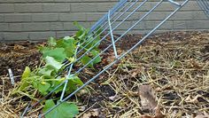 Cucumber plants produce tendrils that grab the wire of the trellis.