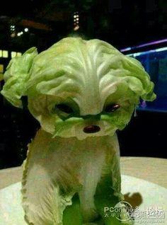 Lettuce puppy