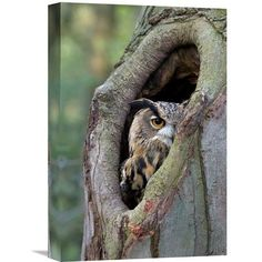 Global Gallery Eurasian Eagle-Owl Looking Out From a Tree Cavity Netherlands Wall Art, Black