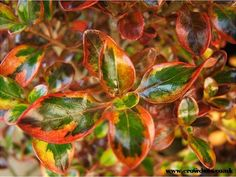 The popular Coprosma Tequila Sunrise is a stunning evergreen rounded shrub- ideal for pots and planters. Otherwise known as a Mirror Plant, the ovate leaves are bright green with yellow edges turning orange and red as the season progresses.  Not hardy, the Coprosma Tequila Sunrise requires winter protection.  Evergreen Not hardy Foliage Colour: Green/Yellow- Red/Orange Max Height: 100cm Max Spread: 100cm