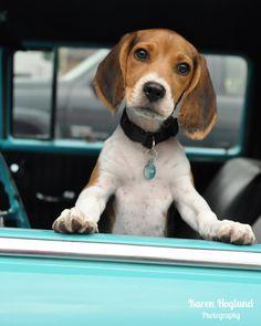 Beagle cachorro en un Chevy