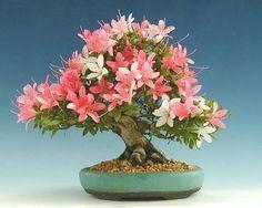 ᴥ♦I simply love this beautiful #bonsai!☺♦ #BonsaiInspiration