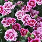 Dianthus 'Pink Kisses' Border carnation Wild carnation caryophyllus Care Plant Varieties & Pruning Advice