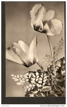 5k. Germany, Flora Flower real photo of Cyclamen 1960