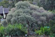 Diospyros Austro-africana - Google Search Shrubs, Perennials, Google Search, Medium, Plants, Outdoor, Outdoors, Shrub, Plant