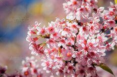 Prunus cerasoides at Khun Chang Kian, Thailand ...  blossom, color image, colors, decoration, flower, multi colored, nature, outdoors, petal, pink, remote, textured, thai sakura, vibrant color