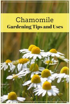 Chamomile is a useful herb, that's easy to grow and has a wonderful scent. This article outlines Chamomile gardening tips and uses.