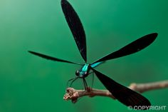 Dragonflies and Damselflies | Colin Hutton Photography