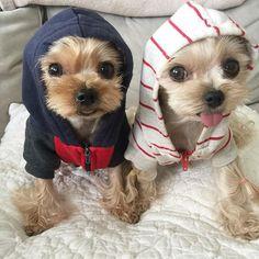 Monday 🐶🐶 #tacoandminnie #yorkie #yorkiesofinstagram #yorkshireterrier #yorkiepuppy #dog #dogoftheday #dogstagram #americanapparel #hoodie #instagood #instadaily #instadog #igers #cute #kawaii #buzzfeedanimals #barkbox #멍스타그램 #강아지 #요키