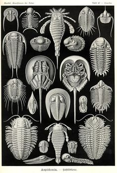 Красота форм в природе.Эрнст Геккель.2622