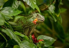 Green Iguanas, Green Iguana Pictures, Green Iguana Facts ...