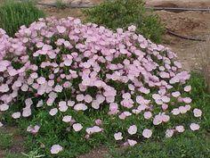 Oenothera speciosa Siskiyou - Graines d'onagre rose