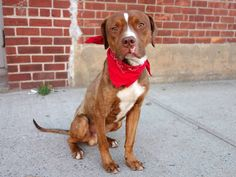 TO BE DESTROYED 10/30/14 Brooklyn Center   ** PUPPY ALERT **    My name is JUPITER. My Animal ID # is A1018645. I am a male brown and white am pit bull ter mix. The shelter thinks I am about 7 MONTHS old.  I came in the shelter as a STRAY on 10/25/2014 from NY 11691, owner surrender reason stated was STRAY.