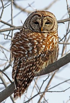 Birds |               Barred Owl  by Bill McCormack