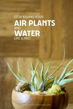 Indoor Container Gardening This post will save your air plants - learn to water properly Air Plants Care, Plant Care, Hanging Plants, Indoor Plants, Indoor Gardening, Gardening Tips, Indoor Cactus, Indoor Herbs, Hanging Vases