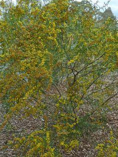 Small/Medium Shrub Understorey - Bird Attracting - Acacia Ausfeldii (Ausfeld's wattle)