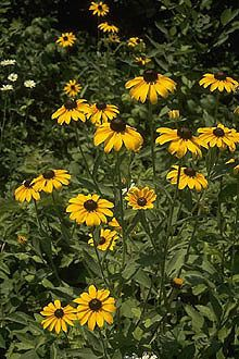 Black-eyed Susan, such a happy yellow flower