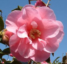 Rose flower of a rhododendron (Scotland)