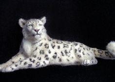 Dollhouse Miniature Snow Leopard   *Handsculpted*