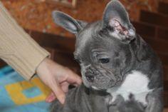 Валентина Колесник Female blue frenchman bulldog 2.5 meses good price 2500$ https://www.facebook.com/profile.php?id=100006232593585