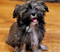Havanese Puppy Photo - Picture of Havanese Puppy Mie
