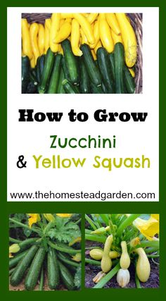 How to Grow Zucchini and Yellow Squash... I need to know this. This is my first year for zucchini.