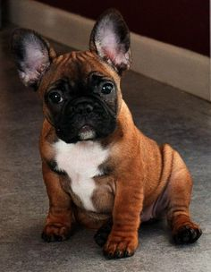 Frenchie---has to be the cutest puppy ever!!!