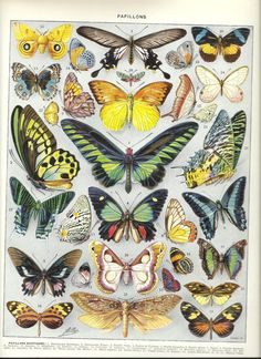 BUTTERFLY Vintage ANIMAL poster - French Dictionary Page Color Illustration - 1930