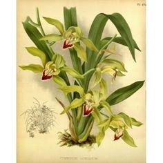 Cymbidium Lowianum Orchid
