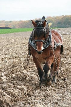 plowing, the old-fashioned way ...My Dad use to plow our gardens & field like this !