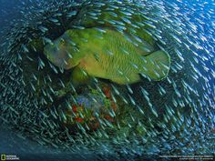 A Napoleon wrasse swims through a school of small fish: http://on.natgeo.com/1uuQftw