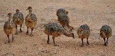 Look at all these...errm? Aha! Baby ostriches!!!!