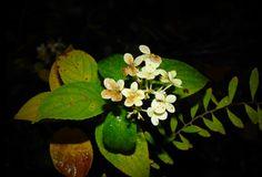 zarte Blüten, Foto: S. Hopp