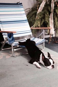 Well this is funny. Not my picture but I have a Boston and the same chair, lol.