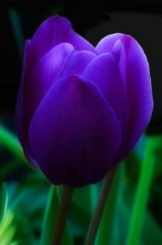 Luminous Purple Tulip ♥ LOVE purple!