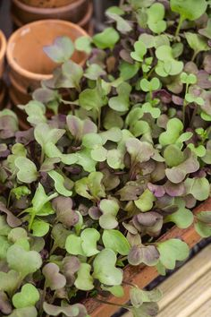 A beautiful red steamed radish selected for sprouts and microgreens. Grow your own bright red radish sprouts in one week Garden Plants Vegetable, Container Gardening, Indoor Gardening, Organic Gardening Tips, Grow Your Own Food, Growing Vegetables, Beautiful Gardens, Radish Sprouts, Succulents