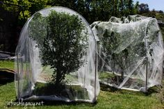 Simple steps to set up fruit tree netting that will protect your harvest from possums, birds and bats (probably not dogs. You can do this on your own with a few easy to find materials.