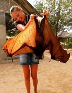 Morcego Gigante  Biggest bat?