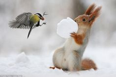 What a tit! This stunned squirrel recoiled in horror when a brave bird stole the nut he had been hiding in a snowball