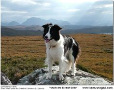 """Charlie"" a beautiful Scottish Border Collie"