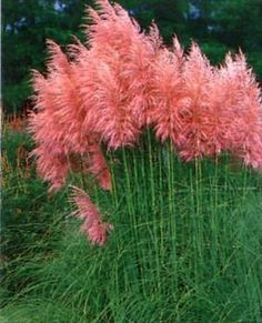 Pink Pampas Grass Lot of 3  (Free Shipping)