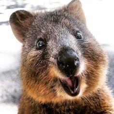 Quokka (Setonix brachyurus) na Ilha Rottnest, Austrália Ocidental. É uma espécie de marsupial da família Macropodidae.  Fotografia: quokkahub no Instagram.