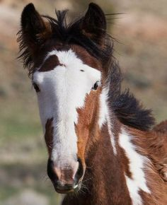 Fabulous Looking Wild Colt Mustang; (By Ken Archer). Baby Horses, Wild Horses, Draft Horses, Most Beautiful Animals, Beautiful Horses, Cheval Pie, Majestic Horse, All The Pretty Horses, Mundo Animal