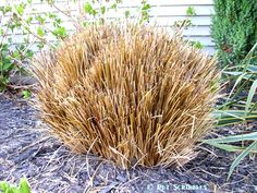 Pruning Ornamental Grasses. It's Spring -- time to cut the grass: ornamental grasses, that is!